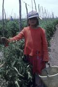 Child kid laborer working on tomato plantation Stock Photos