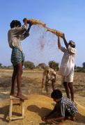 india farming winnowing rice andhra pradesh 5279 - stock photo