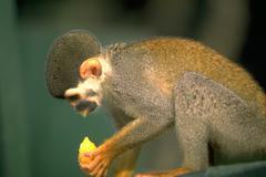 Food fruit squirrel monkey eats piece amazon Stock Photos