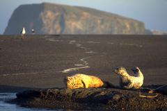 Beach harbor seals enjoying shore play ocean ca Stock Photos