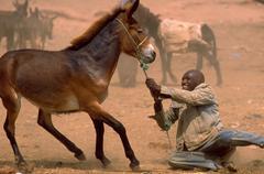 people man male bald black donkey wrangler dust - stock photo