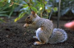 face closeup squirrel eating nut furry rodent - stock photo
