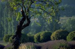 tree knotty lavender field vineyard region rural - stock photo