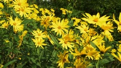 Stock Video Footage of Yellow Flowers in late summer HD