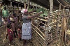 Kenya woman female feeding goats by method meru Stock Photos