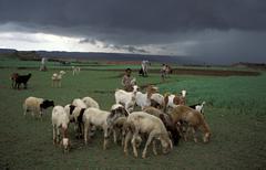 Eritrea boy leading sheep and goats near amara Stock Photos