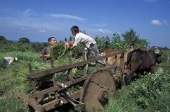 el salvador loading up bullock cart with harvest - stock photo