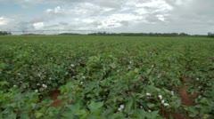 Cotton Field in Georgia Stock Footage
