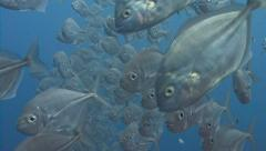 Silver fish swim past camera Stock Footage