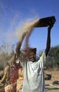 india front threshing finger millet harvest - stock photo