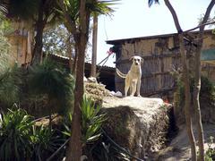 guatemala dog guarding farmhouse in tsantepey - stock photo