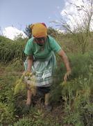 honduras woman female harvesting fennel marcala - stock photo