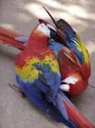 Honduras tame macaws at copan ruins latin birds Stock Photos