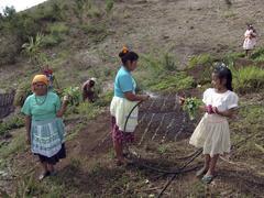 Honduras watering communal vegetable plot in Stock Photos