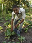 nicaragua boy adding organic compost to cabbage - stock photo