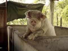 nicaragua pig of jalapa latin america central - stock photo