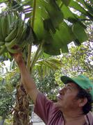 nicaragua man male with banana tree masaya latin - stock photo