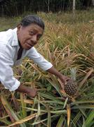 nicaragua man male and his small pineapple latin - stock photo