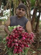 nicaragua farmer with harvest of raddishes latin - stock photo