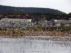 Russia seagulls at lake tunaycha sakhalin island Stock Photos