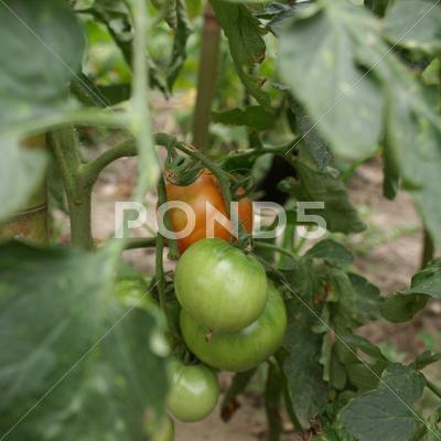 Stock photo of tomato