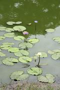 Thailand lotus blossoms in pond at nakhon pathom Stock Photos