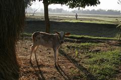 Bangladesh calf and early morning view of to Stock Photos