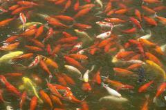 China carp fish in pond asia far east wildlife Stock Photos