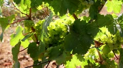 Closeup of Winery Grapevines with bunch of Grapes on a breezy Day 1080p Stock Footage