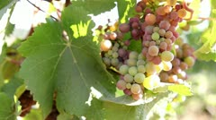 Closeup Panning of Winery Grapevines with bunch of Grapes Stock Footage