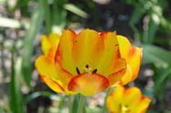 Orange tulips in sunlight Stock Photos