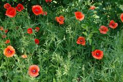 poppy thickets. - stock photo