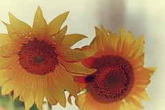 yellow sunflowers. - stock photo