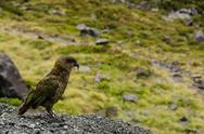 Stock Photo of kea parrot, nestor notabilis, standing on a field of grass