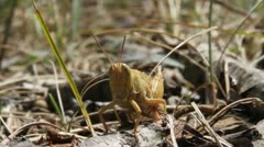 Brown Grasshopper close up, front view - stock footage