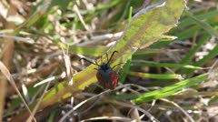Six-Spot Burnet Moth, top view, Zygaena filipendulae Stock Footage