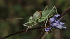 Great Green Bush Cricket on plant, Tettigonia viridissima Stock Footage