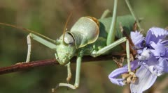 Great Green Bush Cricket macro, Tettigonia viridissima - stock footage