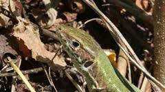 Green Lizard head, macro, Lacerta viridis Stock Footage
