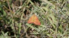 Purple-Barred Yellow Moth on plant, Lythria purpuraria Stock Footage