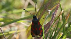 Six-Spot Burnet Moth, Zygaena filipendulae Stock Footage