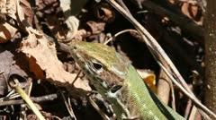 Green Lizard macro, Lacerta viridis Stock Footage
