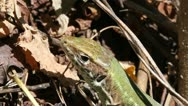 Stock Video Footage of Green Lizard macro, Lacerta viridis