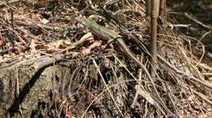 Green Lizard, Lacerta viridis Stock Footage