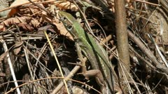 Green Lizard close up, Lacerta viridis Stock Footage