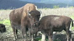 Wood bison, buffalo Stock Footage