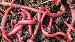 Many red worms in dirt - bait for fishing Stock Footage