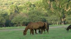 Horses Graze Tree Background Stock Footage
