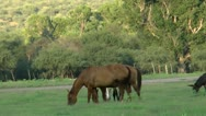 Stock Video Footage of Horses Graze Tree Background