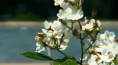 White flowers near beach Cape Cod Stock Footage